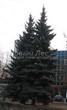 Посадка крупномеров Ели колючей (Picea pungens) (Ели голубой) - 211