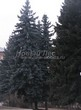 Посадка крупномеров Ели колючей (Picea pungens) (Ели голубой) - 212