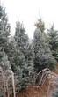 Посадка крупномеров Ели колючей (Picea pungens) (Ели голубой) - 213