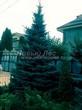 Посадка крупномеров Ели колючей (Picea pungens) (Ели голубой) - 214
