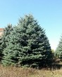 Посадка крупномеров Ели колючей (Picea pungens) (Ели голубой) - 215