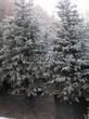 Посадка крупномеров Ели колючей (Picea pungens) (Ели голубой) - 216