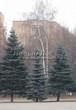 Посадка крупномеров Ели колючей (Picea pungens) (Ели голубой) - 217