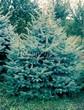 Посадка крупномеров Ели колючей (Picea pungens) (Ели голубой) - 218