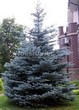 Посадка крупномеров Ели колючей (Picea pungens) (Ели голубой) - 220
