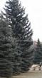 Посадка крупномеров Ели колючей (Picea pungens) (Ели голубой) - 221