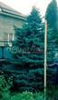 Посадка крупномеров Ели колючей (Picea pungens) (Ели голубой) - 222