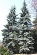 Посадка крупномеров Ели колючей (Picea pungens) (Ели голубой) - 224