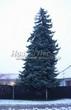 Посадка крупномеров Ели колючей (Picea pungens) (Ели голубой) - 225