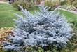 Посадка крупномеров Ели колючей Глаука Глобоза (Picea pungens 'Glauca Globosa') - 201