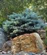 Посадка крупномеров Ели колючей Глаука Глобоза (Picea pungens 'Glauca Globosa') - 202