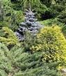 Посадка крупномеров Ели колючей Глаука Глобоза (Picea pungens 'Glauca Globosa') - 203