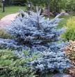 Посадка крупномеров Ели колючей Глаука Глобоза (Picea pungens 'Glauca Globosa') - 204