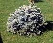 Посадка крупномеров Ели колючей Глаука Глобоза (Picea pungens 'Glauca Globosa') - 205
