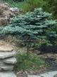 Посадка крупномеров Ели колючей Глаука Глобоза (Picea pungens 'Glauca Globosa') - 206