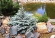 Посадка крупномеров Ели колючей Глаука Глобоза (Picea pungens 'Glauca Globosa') - 207