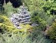 Посадка крупномеров Ели колючей Глаука Глобоза (Picea pungens 'Glauca Globosa') - 208