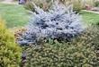 Посадка крупномеров Ели колючей Глаука Глобоза (Picea pungens 'Glauca Globosa') - 209