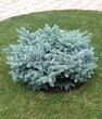 Посадка крупномеров Ели колючей Глаука Глобоза (Picea pungens 'Glauca Globosa') - 210