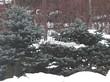 Посадка крупномеров Ели колючей Глаука Глобоза (Picea pungens 'Glauca Globosa') - 211