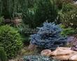 Посадка крупномеров Ели колючей Глаука Глобоза (Picea pungens 'Glauca Globosa') - 212