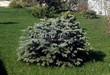 Посадка крупномеров Ели колючей Глаука Глобоза (Picea pungens 'Glauca Globosa') - 213