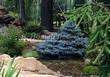 Посадка крупномеров Ели колючей Глаука Глобоза (Picea pungens 'Glauca Globosa') - 214