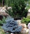 Посадка крупномеров Ели колючей Глаука Глобоза (Picea pungens 'Glauca Globosa') - 215