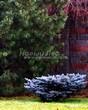 Посадка крупномеров Ели колючей Глаука Глобоза (Picea pungens 'Glauca Globosa') - 216
