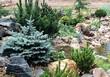 Посадка крупномеров Ели колючей Глаука Глобоза (Picea pungens 'Glauca Globosa') - 217