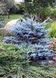 Посадка крупномеров Ели колючей Глаука Глобоза (Picea pungens 'Glauca Globosa') - 218