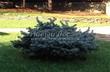 Посадка крупномеров Ели колючей Глаука Глобоза (Picea pungens 'Glauca Globosa') - 221