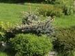 Посадка крупномеров Ели колючей Глаука Глобоза (Picea pungens 'Glauca Globosa') - 222