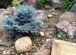 Посадка крупномеров Ели колючей Глаука Глобоза (Picea pungens 'Glauca Globosa') - 223