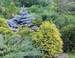 Посадка крупномеров Ели колючей Глаука Глобоза (Picea pungens 'Glauca Globosa') - 224