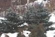 Посадка крупномеров Ели колючей Глаука Глобоза (Picea pungens 'Glauca Globosa') - 225