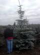 Посадка крупномеров Ели колючей формы сизой (Picea pungens f. glauca) - 201