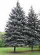 Посадка крупномеров Ели колючей формы сизой (Picea pungens f. glauca) - 202