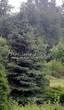 Посадка крупномеров Ели колючей формы сизой (Picea pungens f. glauca) - 203