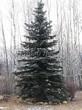 Посадка крупномеров Ели колючей формы сизой (Picea pungens f. glauca) - 204