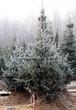Посадка крупномеров Ели колючей формы сизой (Picea pungens f. glauca) - 205