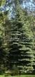 Посадка крупномеров Ели колючей формы сизой (Picea pungens f. glauca) - 206