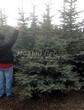 Посадка крупномеров Ели колючей формы сизой (Picea pungens f. glauca) - 207