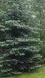 Посадка крупномеров Ели колючей формы сизой (Picea pungens f. glauca) - 208