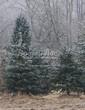 Посадка крупномеров Ели колючей формы сизой (Picea pungens f. glauca) - 209