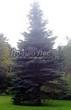 Посадка крупномеров Ели колючей формы сизой (Picea pungens f. glauca) - 210