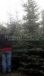 Посадка крупномеров Ели колючей формы зеленой (Picea pungens) - 201