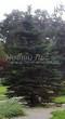 Посадка крупномеров Ели колючей формы зеленой (Picea pungens) - 202