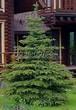 Посадка крупномеров Ели колючей формы зеленой (Picea pungens) - 203