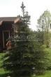 Посадка крупномеров Ели колючей формы зеленой (Picea pungens) - 204